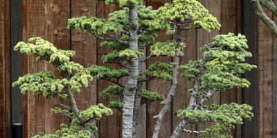 Сибирский кедр – житель таёжных лесов в наших садах