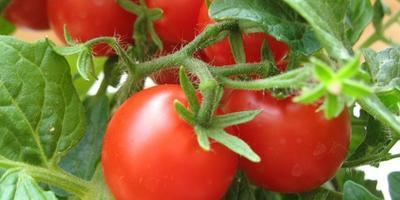 Томаты - секреты успешного выращивания, посадки и ухода
