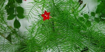 Квамоклит - кардинальская мантия для украшения клумбы