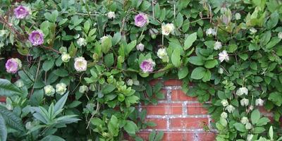 Хотите нарядить сад огромными колокольчиками – пригласите в него кобею