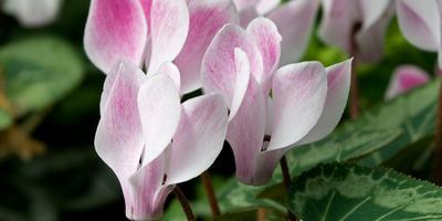 Цикламен – танцующие бабочки в вашем саду