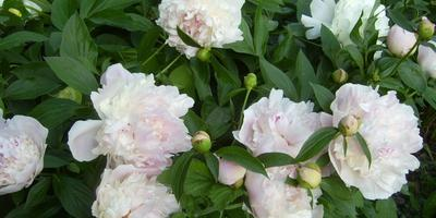 Почему не цветут пионы?