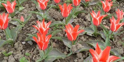 Тюльпанная россыпь