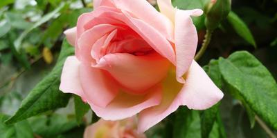 Выставка роз Никитского ботанического сада
