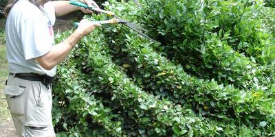 Почти как в Англии - стрижка вечнозеленых изгородей