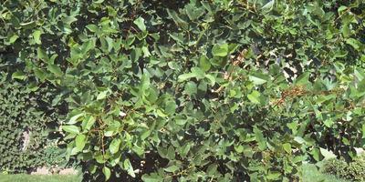 Эритрина - коралловое дерево