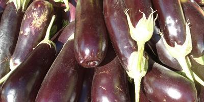 Августовский овощ - баклажан