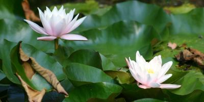 Позднее цветение в пруду или Водная красавица - кувшинка