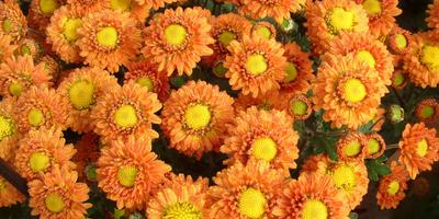 Хризантемы осеннего бала