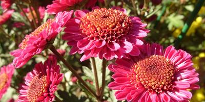 17 именных хризантем осеннего бала