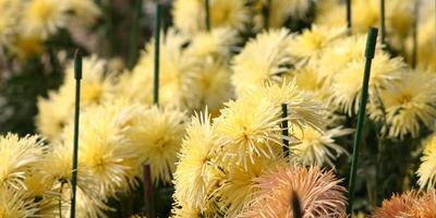 Жёлтые хризантемы осеннего бала Никитского ботанического сада