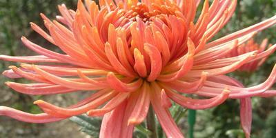 Бронзовые хризантемы осеннего бала Никитского ботанического сада