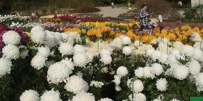 Хризантемы, приносящие радость