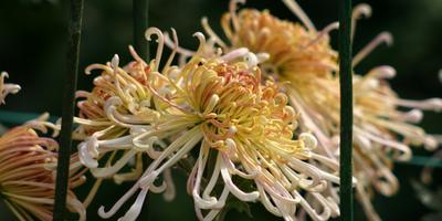 Китайские хризантемы – очарование старины