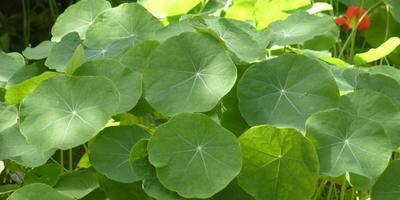 Декоративные свойства овощных растений: характер роста и высота