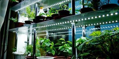 Размножение и посадка: выращивание рассады