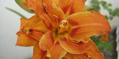 Лилейник буро-желтый – декоративный, лекарственный и съедобный