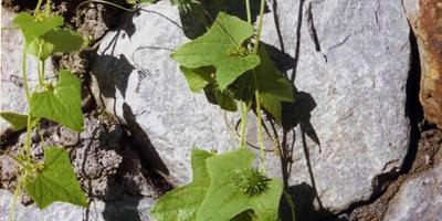Циклантера короткоколосая - экзотическая лиана с плодами 3-х вкусов: перца, огурца и спаржевой фасоли