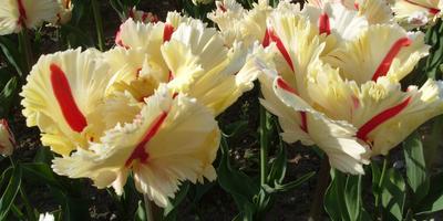 Чудесное перевоплощение тюльпана Flaming Parrot