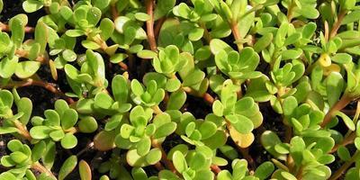 Портулак огородный – что это за растение?