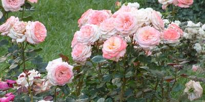 Как создать новый сорт розы: мастер-класс