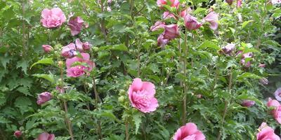 Гибискус сирийский – прекрасный кустарник южного жаркого лета
