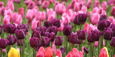 17 лучших сортов Простых Поздних тюльпанов