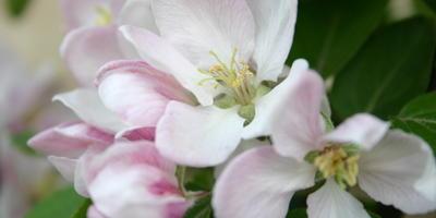 Декоративные яблони: виды, особенности выращивания, размещение на даче