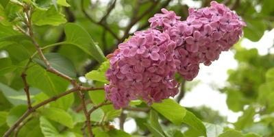 Сирень: виды, сорта, особенности выращивания
