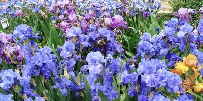Радуга ирисов: аккорды цветения