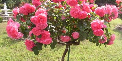 Штамбовые розы – мечта дачника