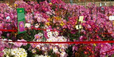 Селекционный участок хризантем – приоткрываем тайну процесса
