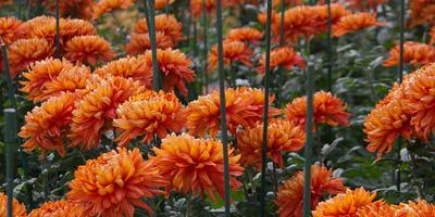 Хризантемы, которые меня очаровали в 2015 году