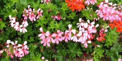 Пеларгонии – путь от семени до композиций