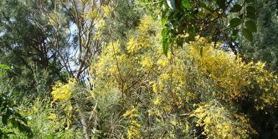 Дрок этнинский и метельник прутьевидный: их сходство и отличие, родственники