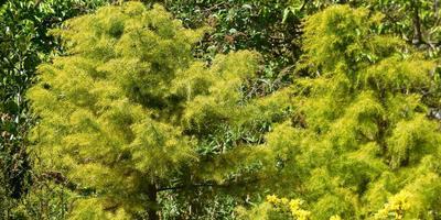 Экзотические хвойные растения