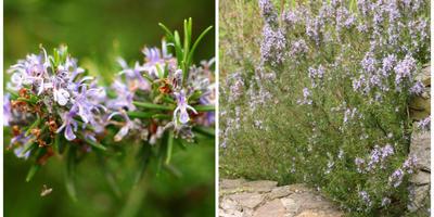 Камфороносные, касторовые и мастиковые растения
