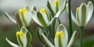 Редкие луковичные растения из семейств Лилейных, Луковых и Безвременниковых