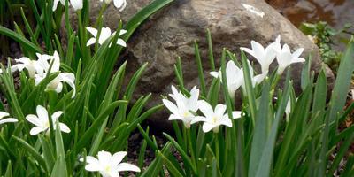Звездочки в траве - хионодоксы