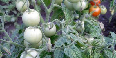 Томаты: подбираем сорта и выращиваем рассаду