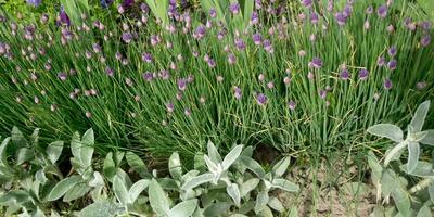 Декоративный лук: больше, чем полезная зелень