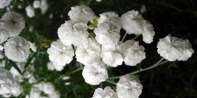 Лесные и полевые растения в саду: тысячелистник