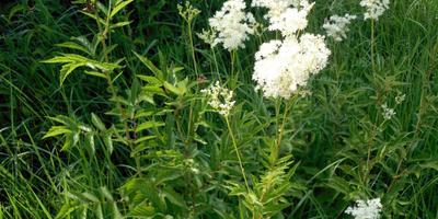 Лесные и полевые растения в саду: таволга вязолистная