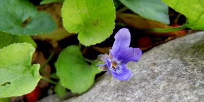 Фиалка - маленькое осеннее чудо