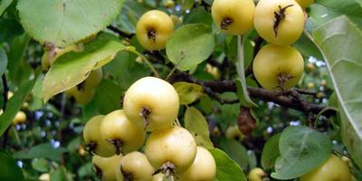 Что это за сорт яблони?