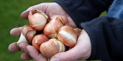 Как хранить зимой луковицы гладиолусов и тюльпанов