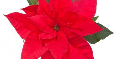 Как купить и сохранить рождественскую звезду - пуансеттию