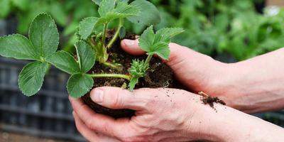 Как выбрать весеннюю рассаду садовой земляники и подготовить ее к пересадке