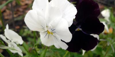 Как продлить цветение виол