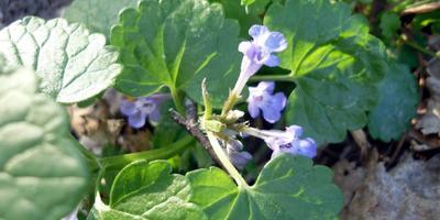 Лесные и полевые растения в саду: будра плющевидная
